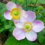 "Anemone - ""September Charm"""