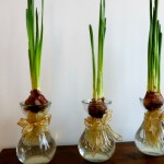 Single Paperwhite Bulbs in Forcing Vases