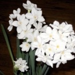 Paper whites in Bloom