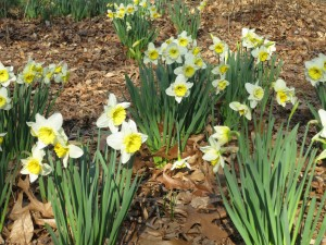 Neighborhood Daffodils