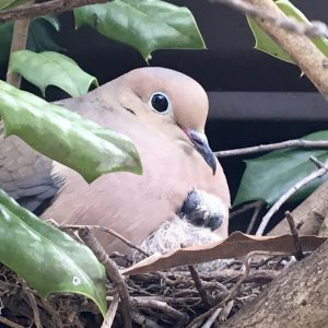 Mourning Dove - Mother & Child
