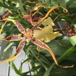 Greenhouse Orchids