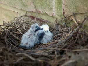 Doves Beginning to Hatch