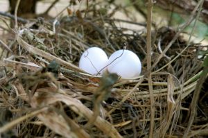 Mourning Dove Nest With Eggs